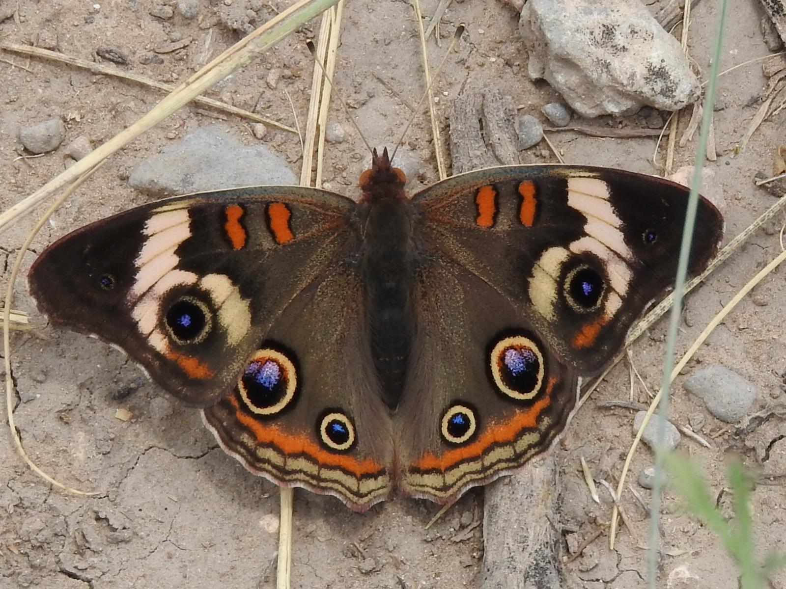 Mariposa ojo de venado norteña