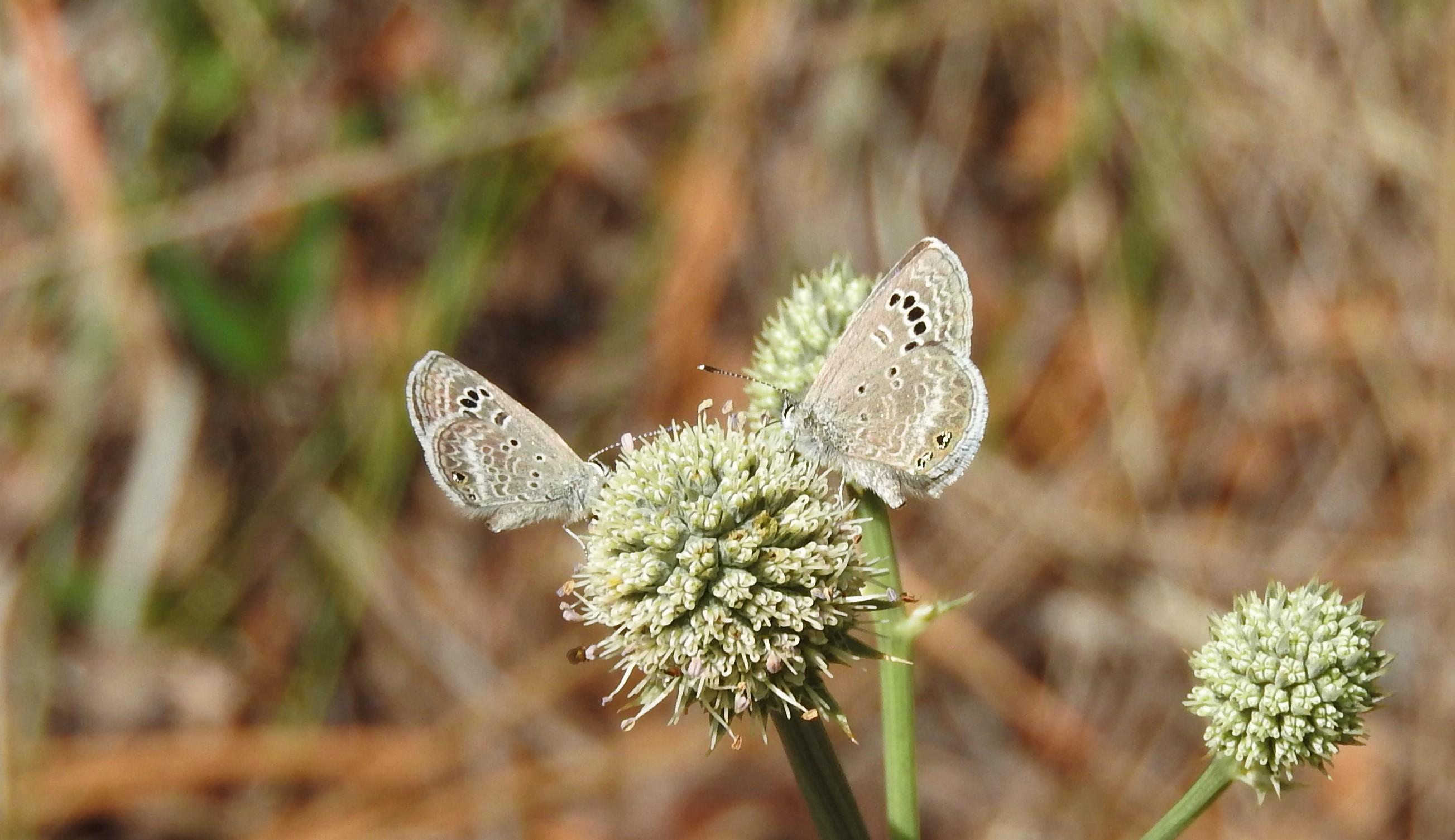 Mariposa azul del mezquite