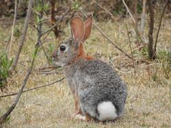 Conejo serrano