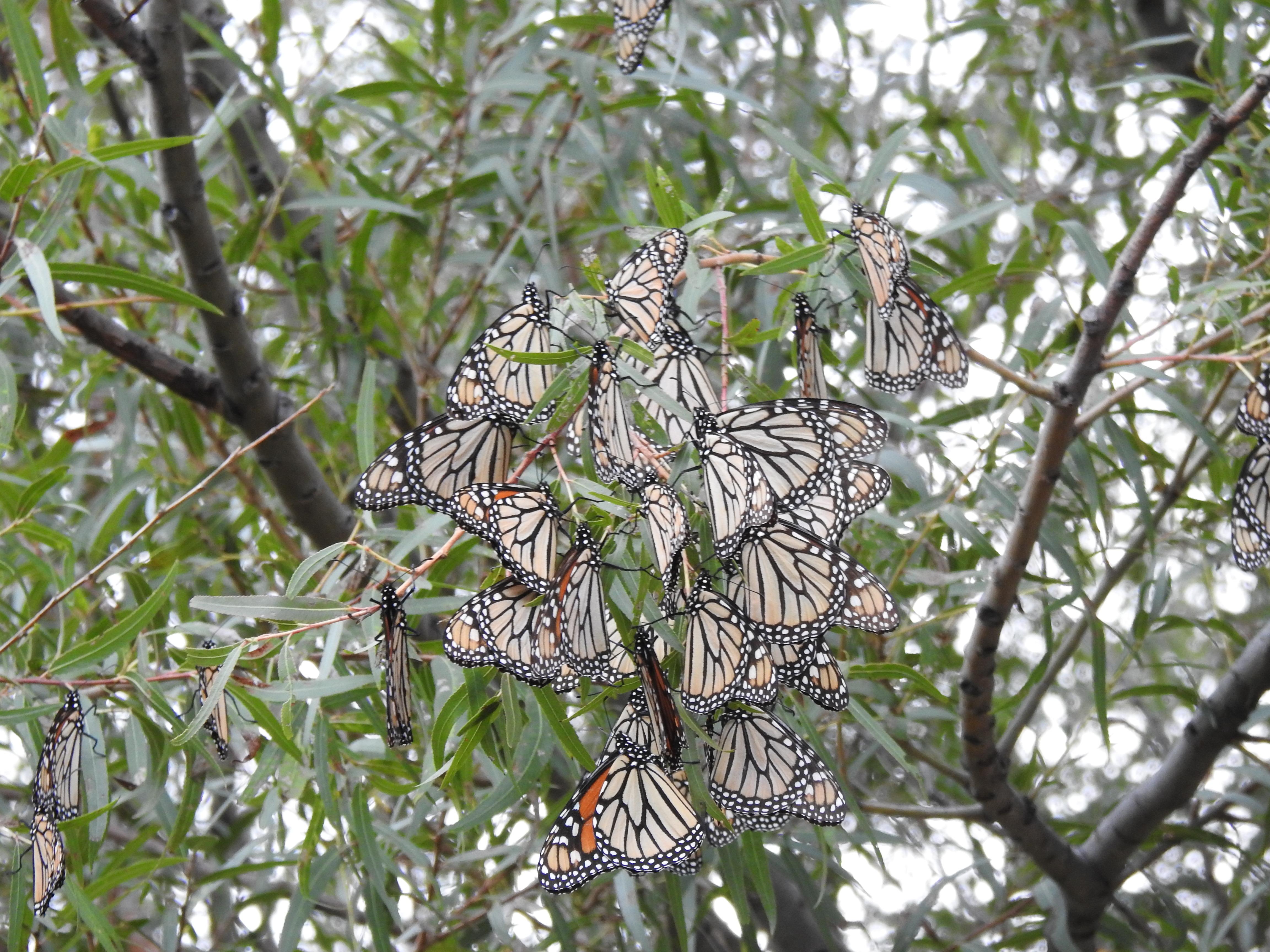 Percha de mariposa monarca