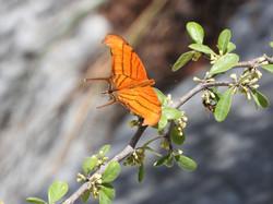 Mariposa naranja alas de daga