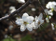 20170315 Prunus mexicana  (15).JPG