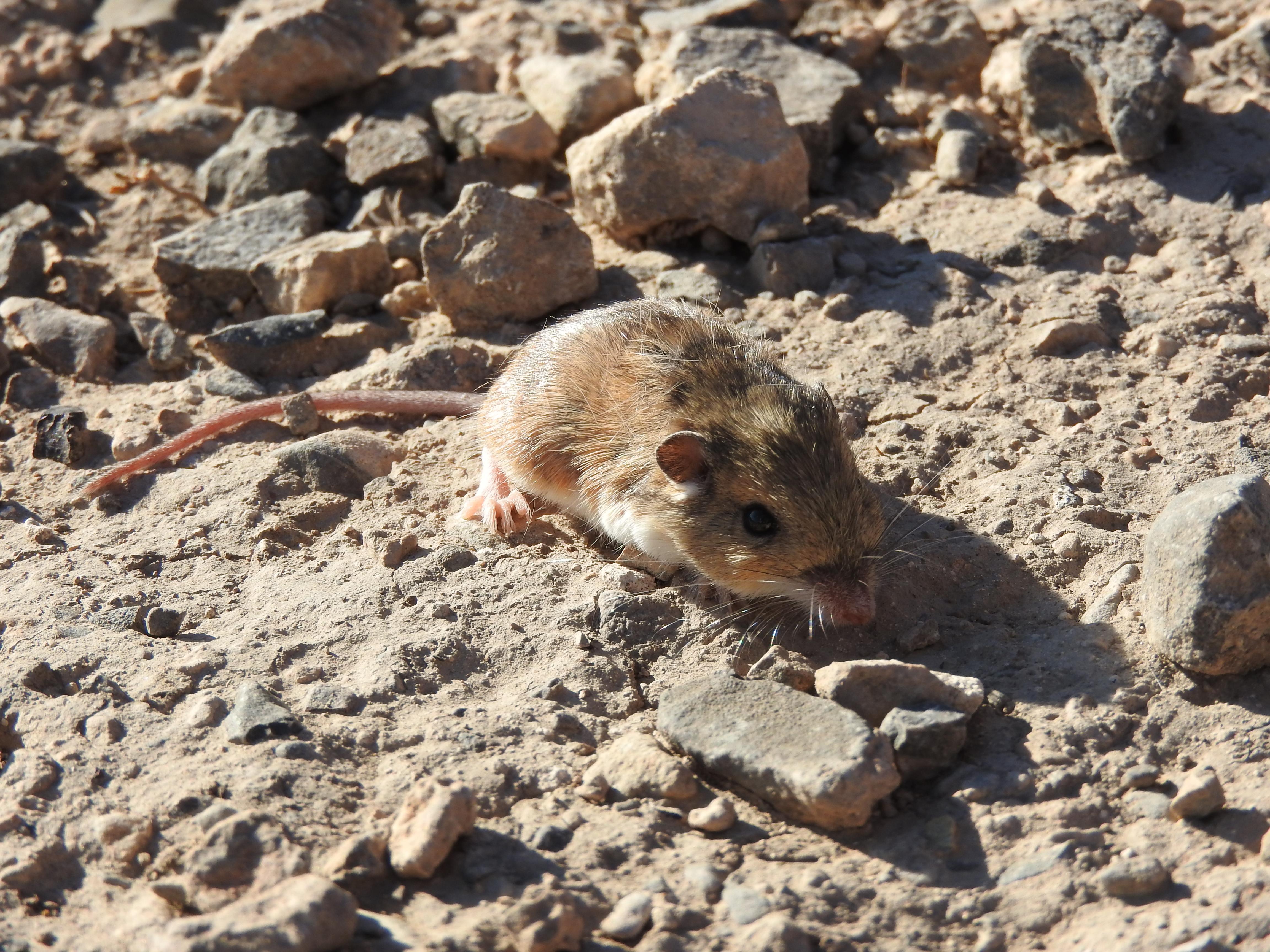 Ratón de abazones sedoso