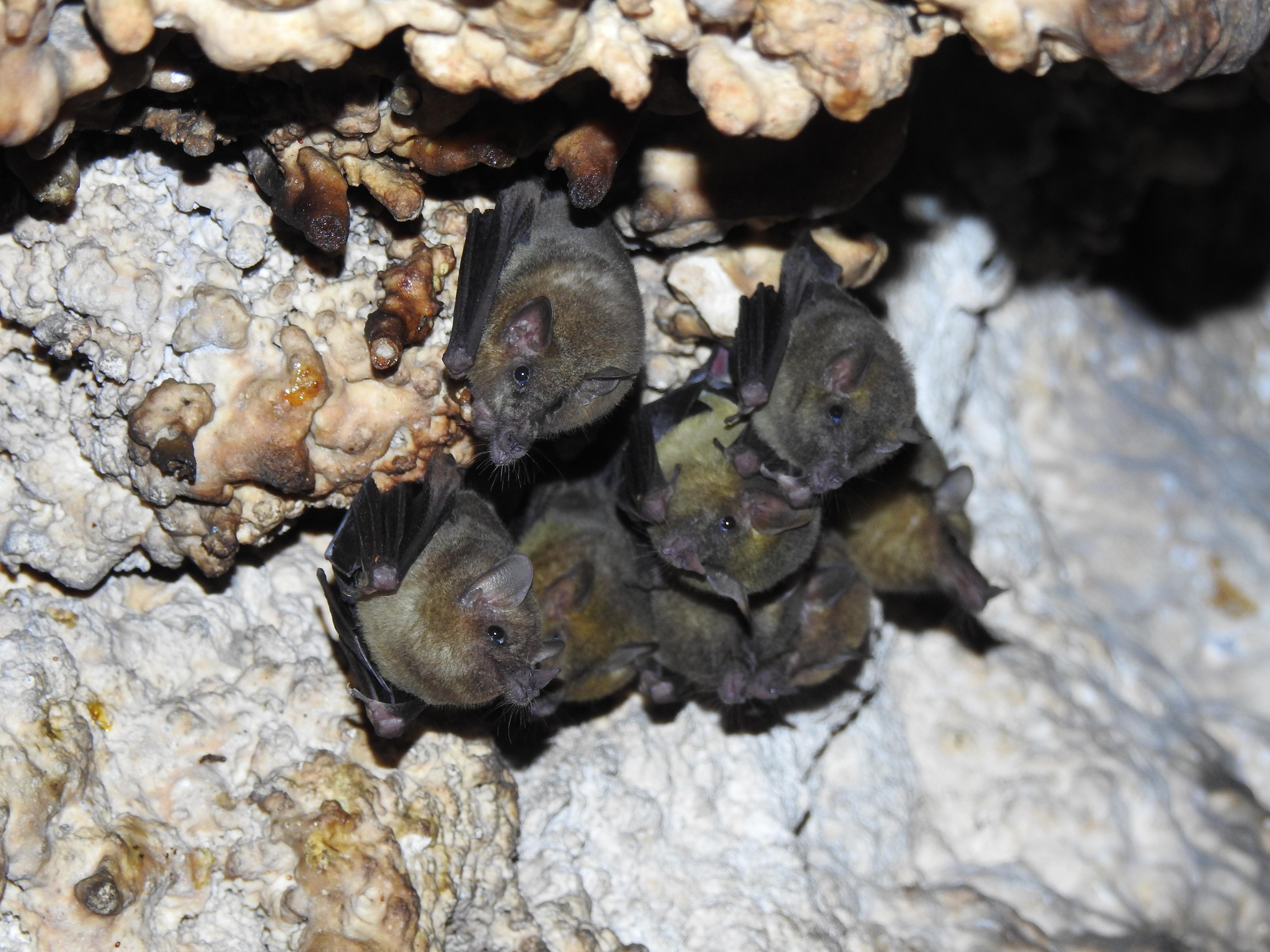 Murciélago Trompudo