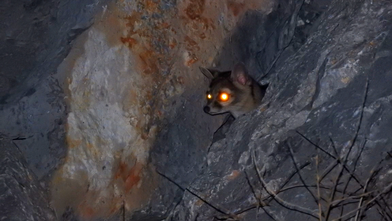 Cacomixtle norteño