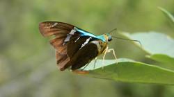 Saltarina relámpago azul de dos barras