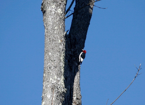 Red-headed Woodpecker, Indian Head Rail Trail. Photograph by Becky Strode