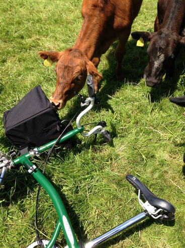 A customers Brompton and cow