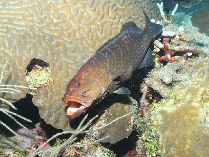 caribbean-groupers