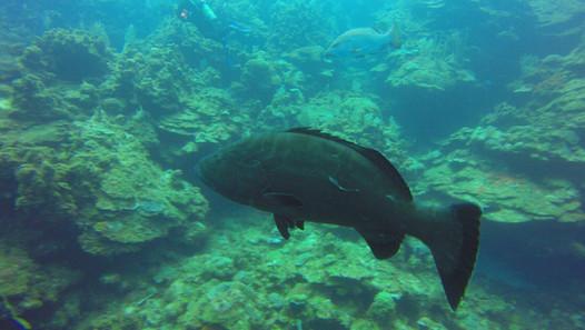 Grouper-Roatan-Shipwreck