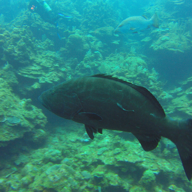 grouper-roatan-diving