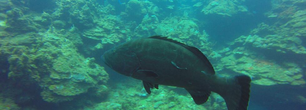 grouper-roatan-diving
