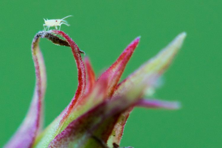 The Lone Aphid