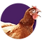 Chook image
