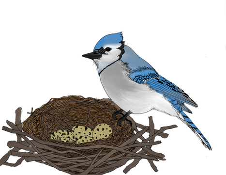 blue jay.png