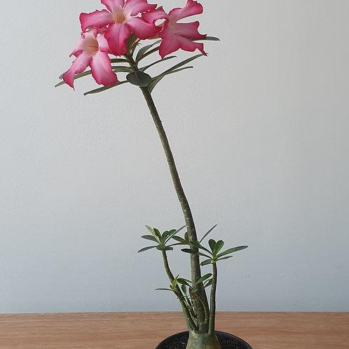 Rosa do Deserto | Pote 15