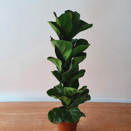 Ficus Lyrata Bambino | Pote 15