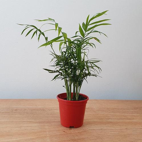 Mini Palmeira | Chamaedorea elegans