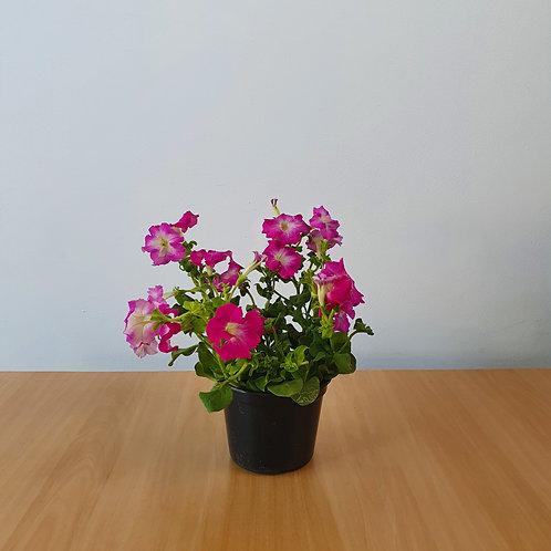 Petunia   Pote 15
