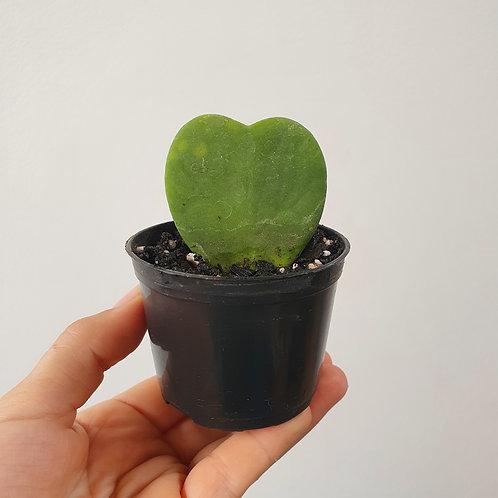 Suculenta coração | Hoya kerii