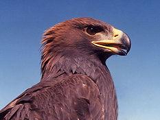 Raptor migrates through Waggoners Gap in Carlisle, PA