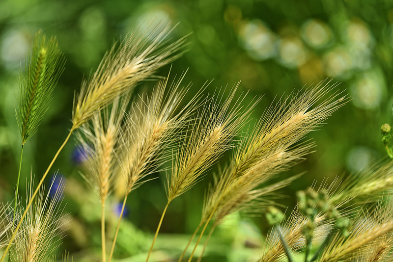 Barely grass crops