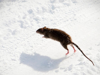 Snow and rodent populations