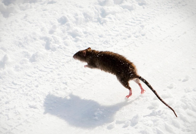 Rats in the Snow