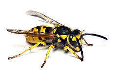 Sumner Bees Hornets and Wasps