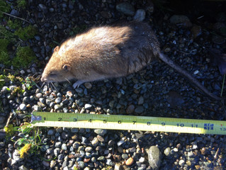 Signs of a Rodent Infestation in the Pacific  Northwest