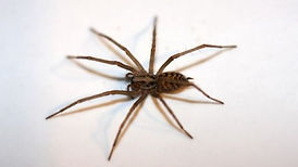 Orting spider