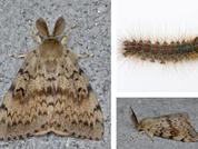 State of LDD moth in 2021