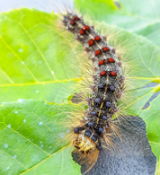 Lymantria dispar dispar (LDD) aka Gypsy Moth Update