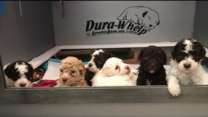 Coco & Amedeo's Puppies, 4 Weeks Old!