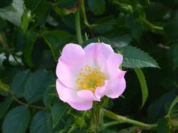 fleur mauve bach.jpg