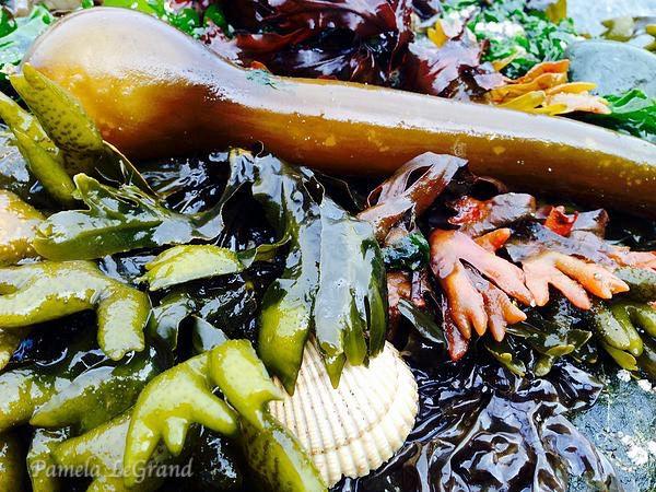 Bull Kelp And More By Malibu Artist Pamela LeGrand