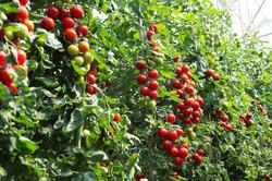 indeterminate tomato2