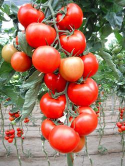 indeterminate tomato