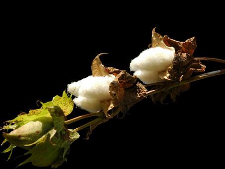 Ge dina synpunkter på genmodifierad bomull