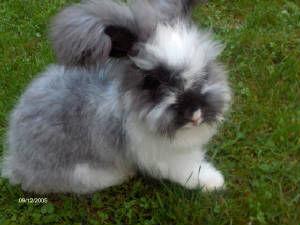 Broken Black English Angora Rabbit Example.jpg