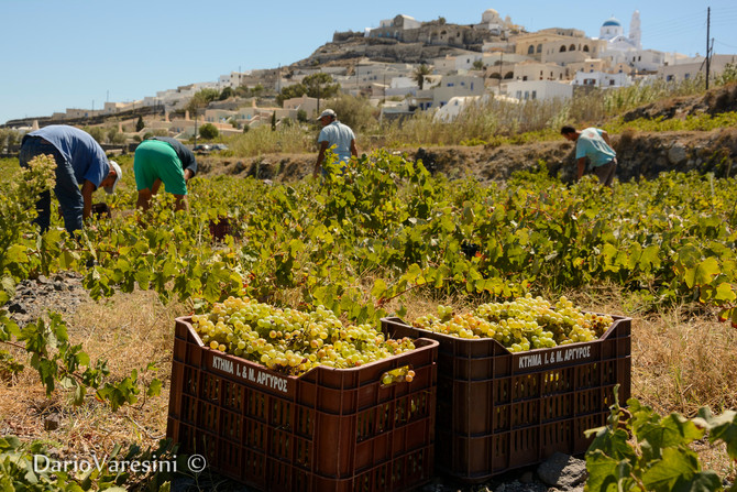 Harvest in Santorini