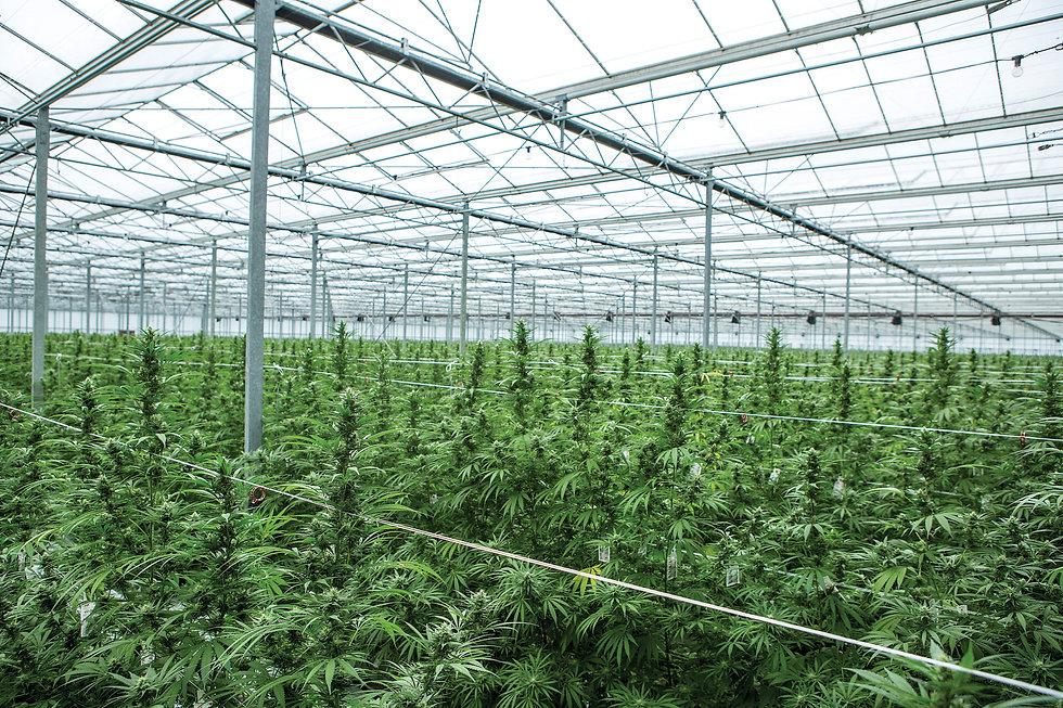 Cannabis_GWPharmaceuticals_CannabisSativ