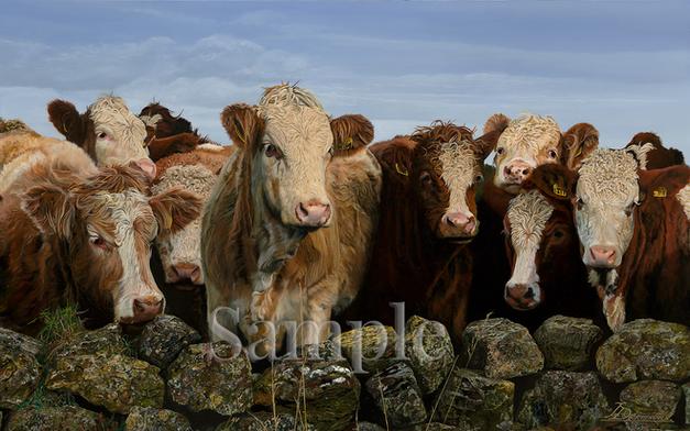 Curious Cows of Scotland