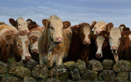 Scotland Cows.jpg