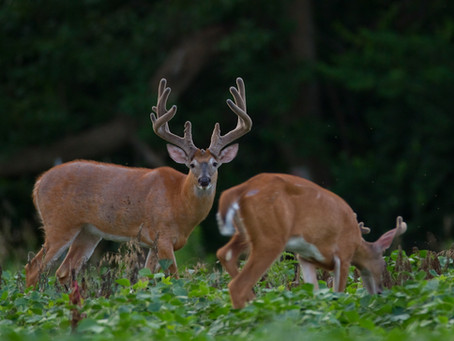 Why are Deer Numbers Down?