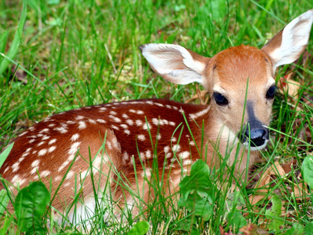 Dispelling myths during Whitetail Fawn Season