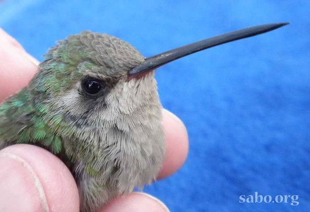 2021 SABO Hummingbird Banding Schedule
