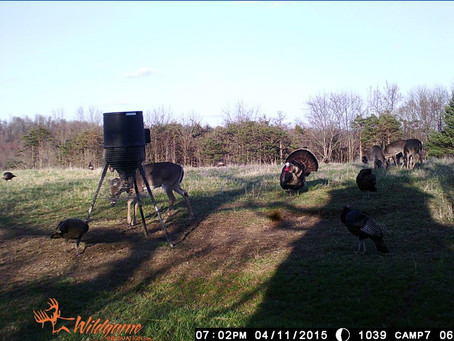 Trail Camera Strategies for Turkey Scouting