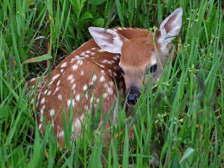 Keep an eye out for Fawns and Turkey Nests