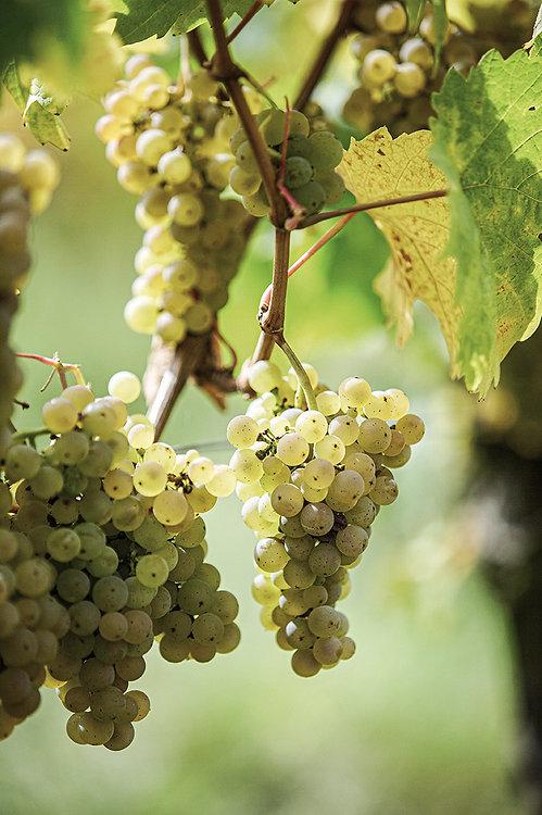 Weingut Kanitz, Lage, Wein, Weintrauben, Kanitz, Lorch, Cappenberg, Rheingau